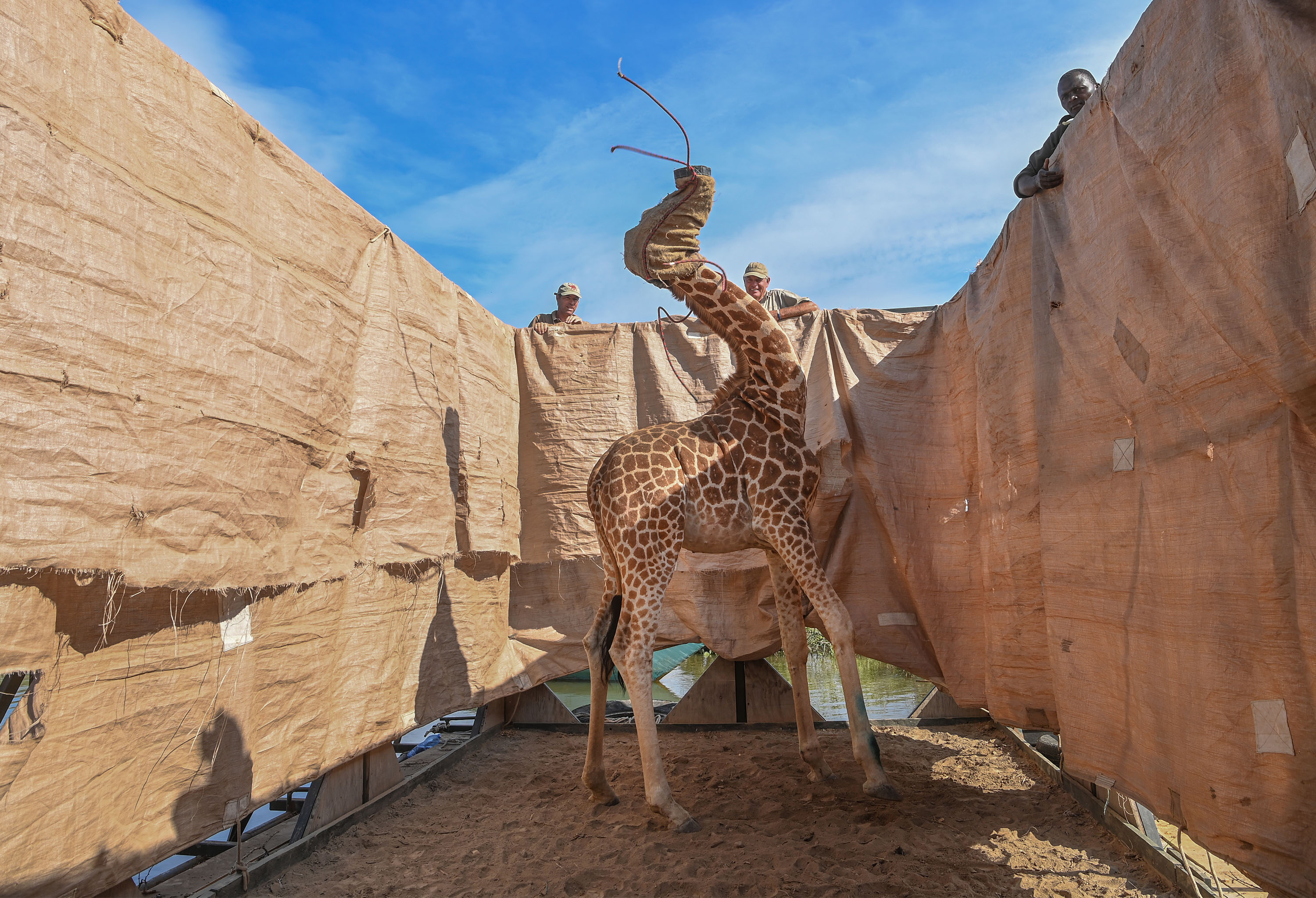 Rescue of Giraffes from Flooding Island, Ami Vitale, for CNN