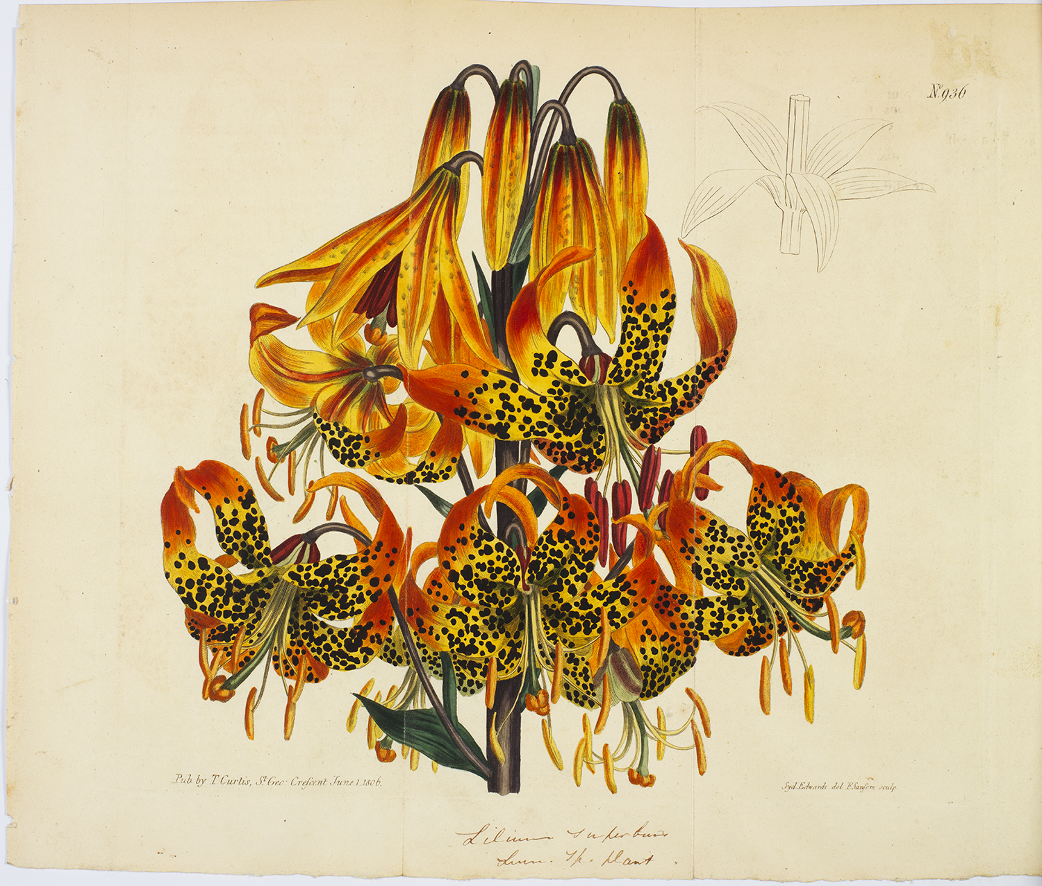 A hand drawn illustration of Leopard Orchids