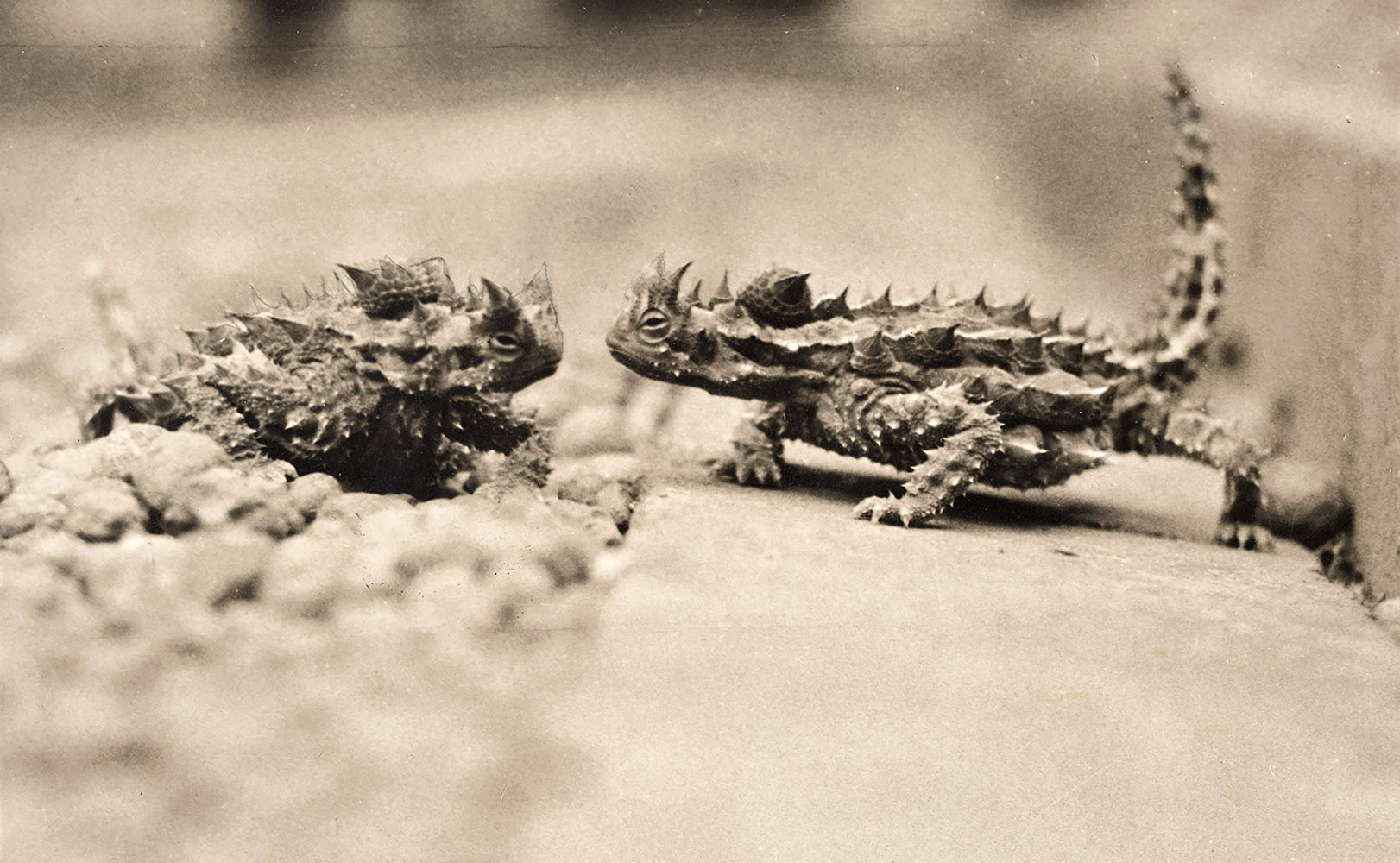 two spiky lizards are facing each other
