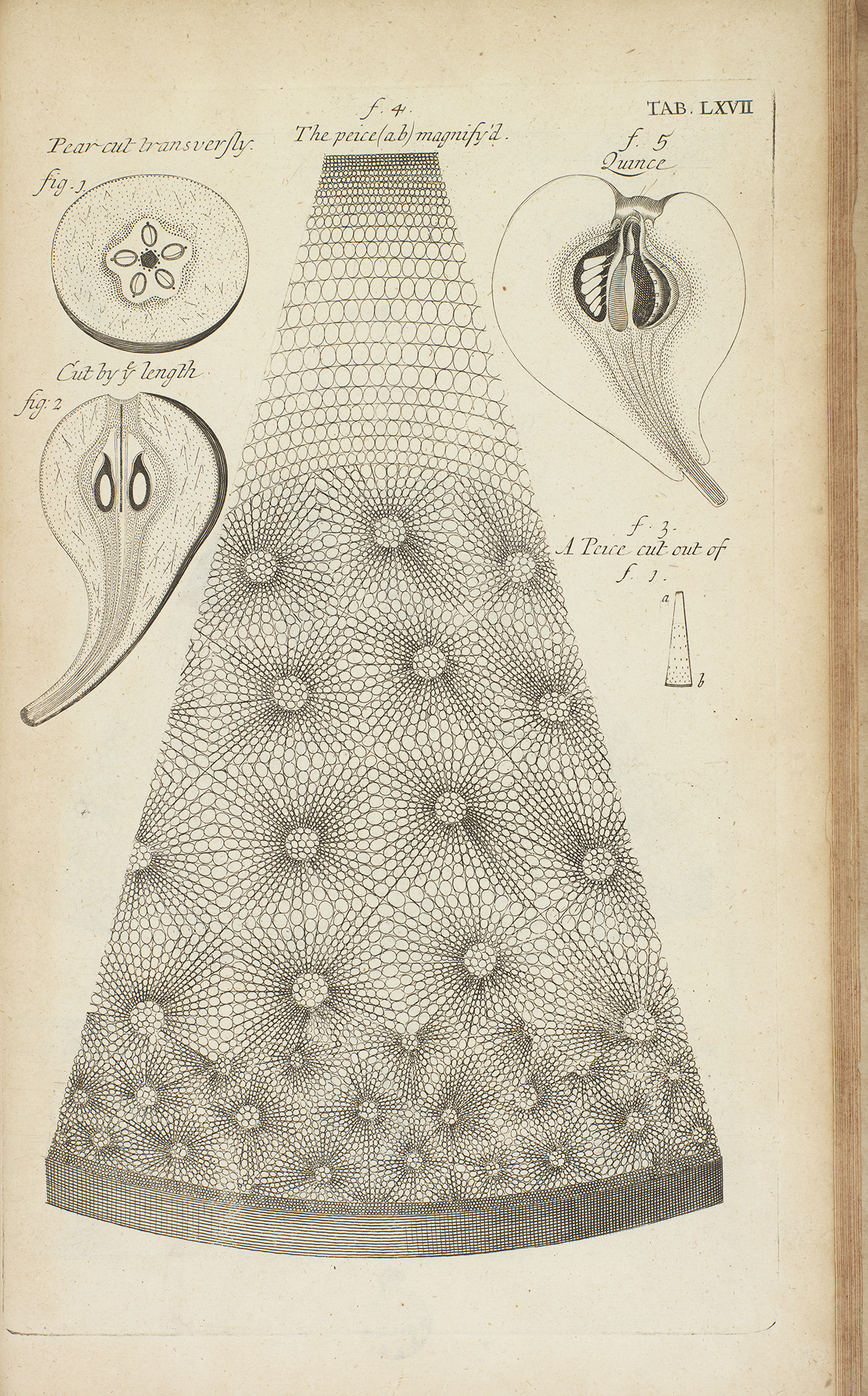 An illustration of an early microscopic image of a pear.