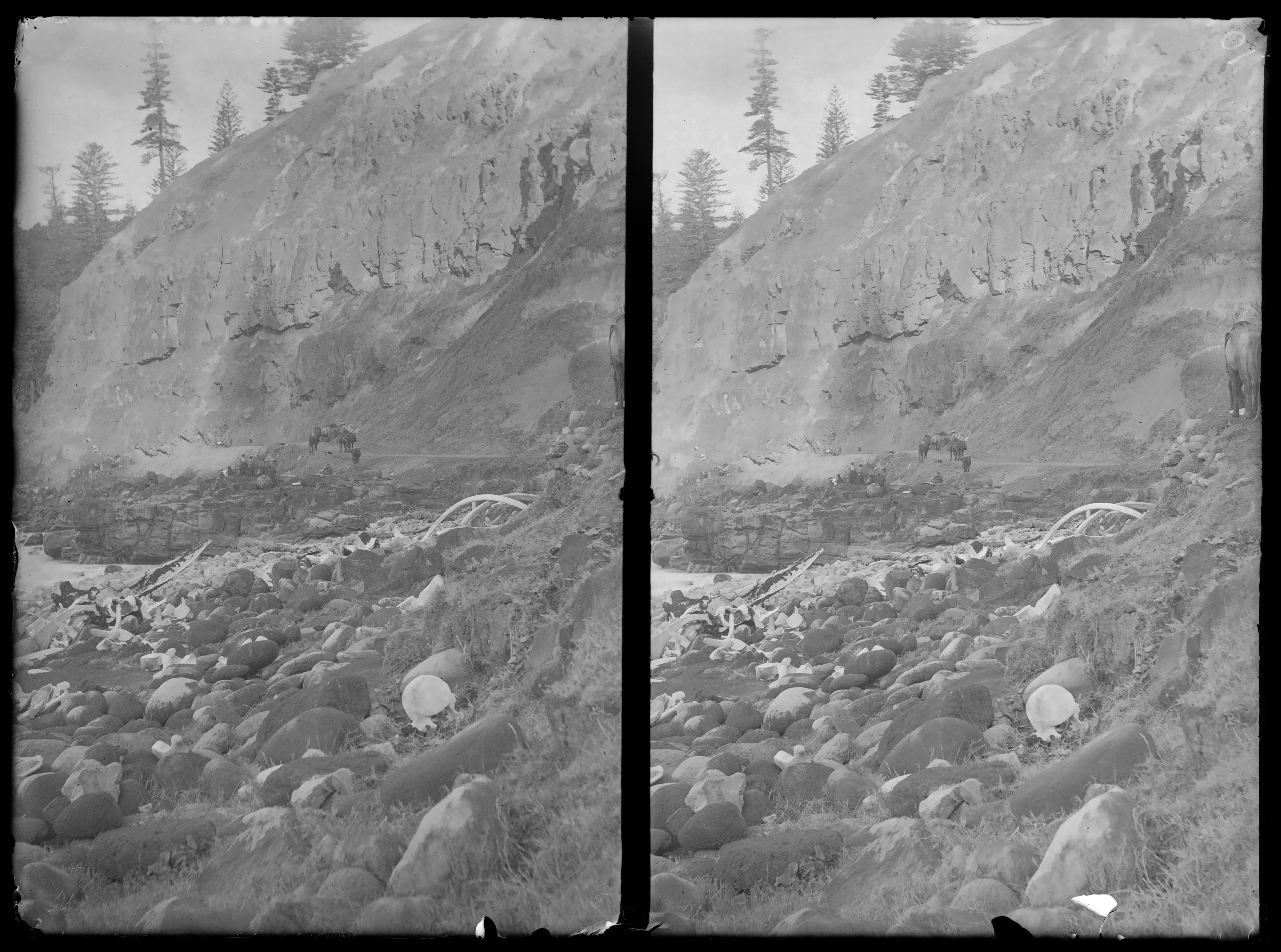 Whale skeleton scattered over rocks at Cascade Bay, Norfolk Island, c 1905, glass-plate stereograph, Macpherson Collection, ON 588/Box 12/11