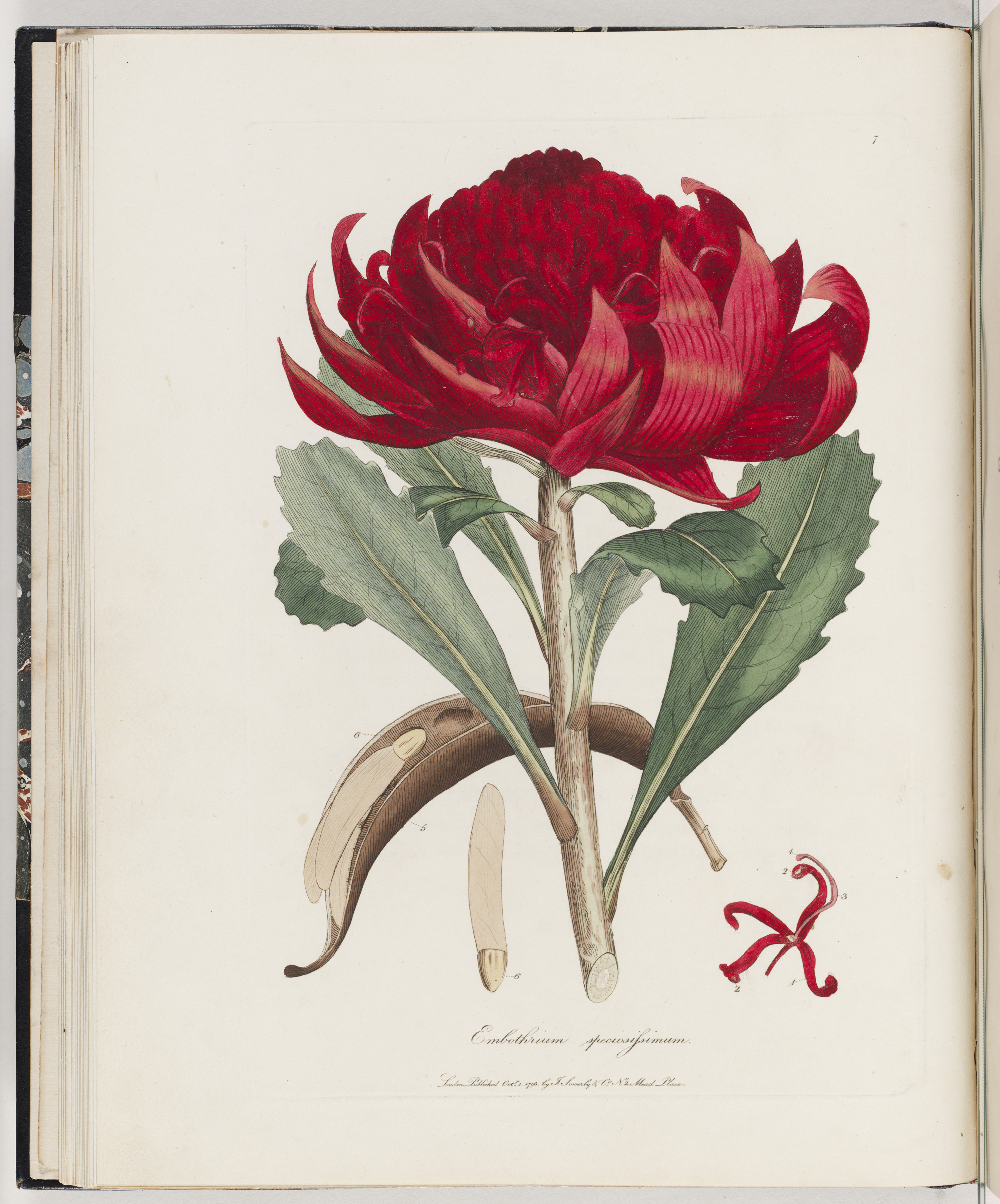 A colour drawing of a waratah.