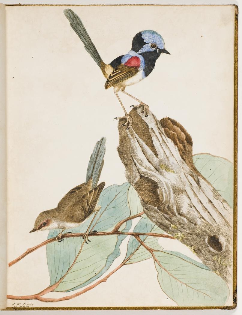 Variegated Warbler