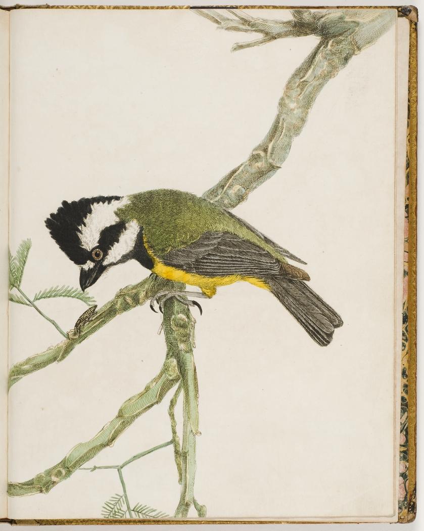 Crested Shrike