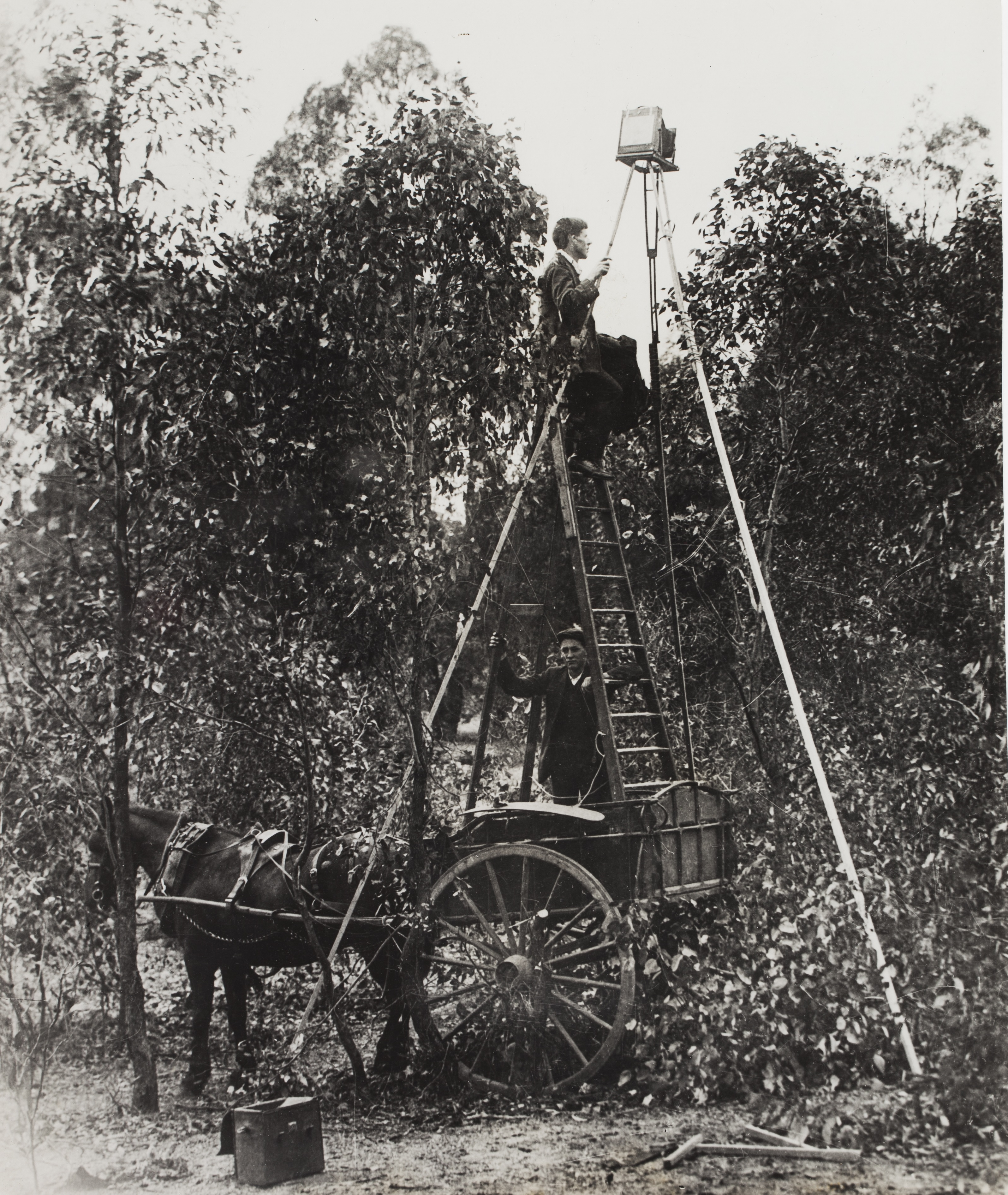 Alec Chisholm and assistant photographing a nest of the Crested Shrike-tit, 1914