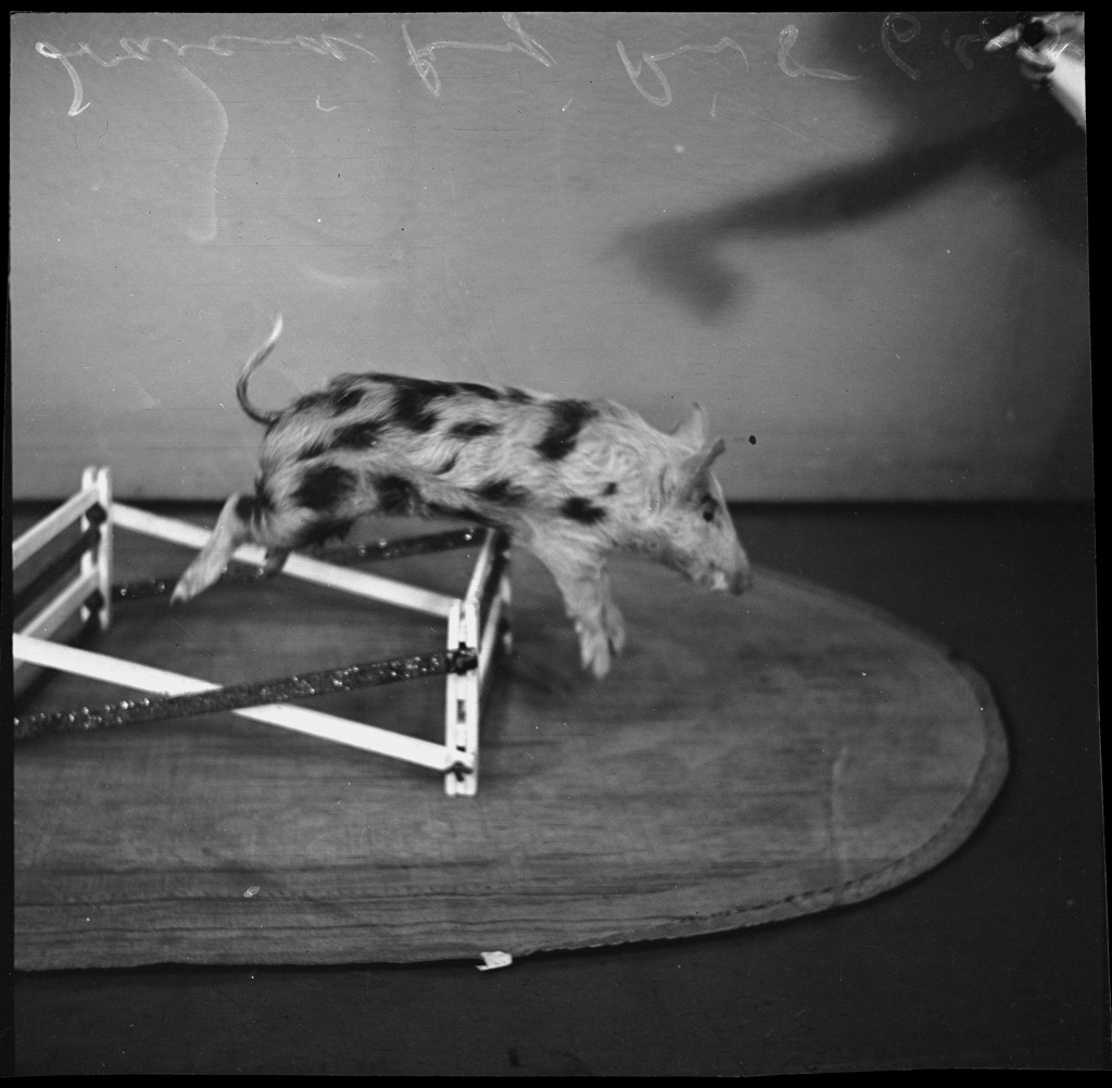 Freckles the pig performing a jump