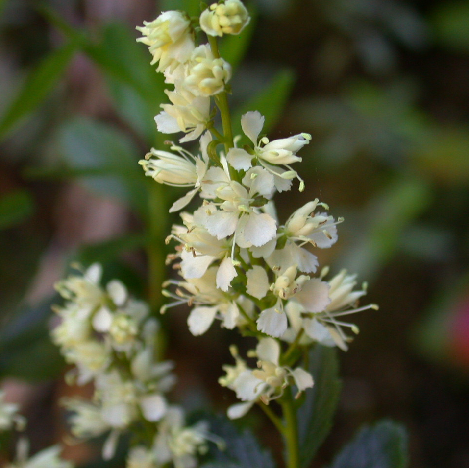 Found mostly in nature in subalpine regions of Tasmania, Tetracarpaea tasmannica displays small white flowers.
