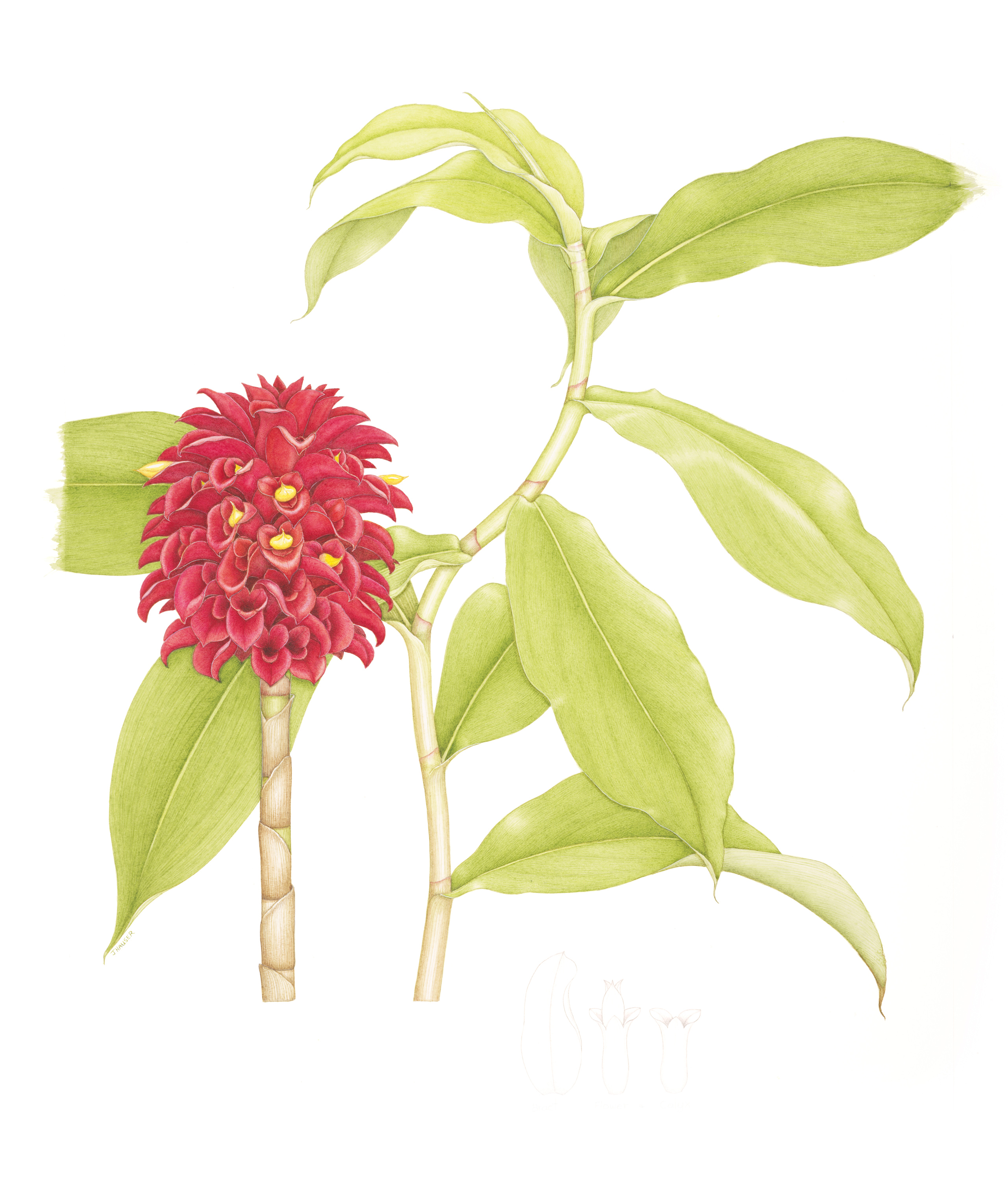 Backscratcher Ginger, drawing by Janet Hauser, 2017
