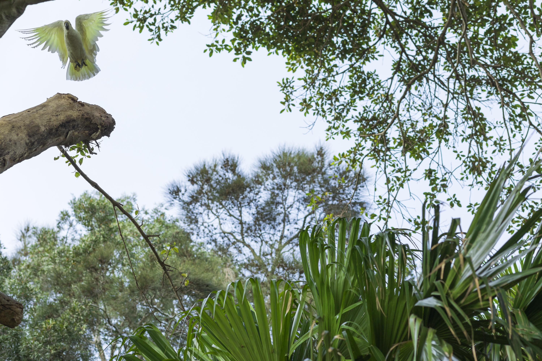 Cockatoos amongst cabbage palms, Kamay National Park