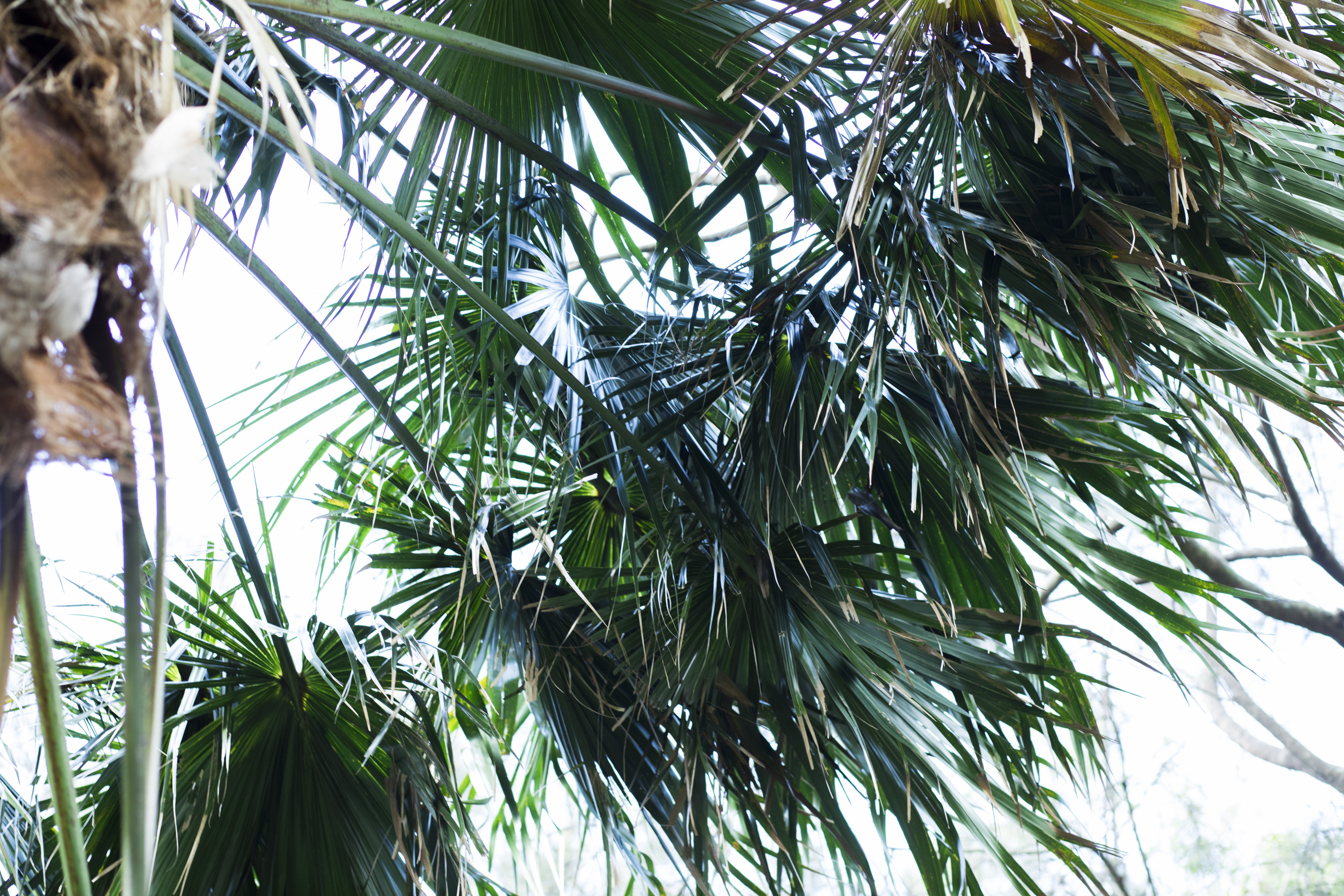 Close-up photograph of a cabbage tree palm and its fronds