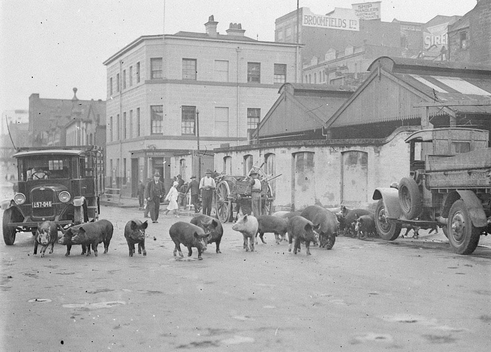 Pigs on Day Street, c.1929, by Ted Hood, Glass negative, DG ON4/3805