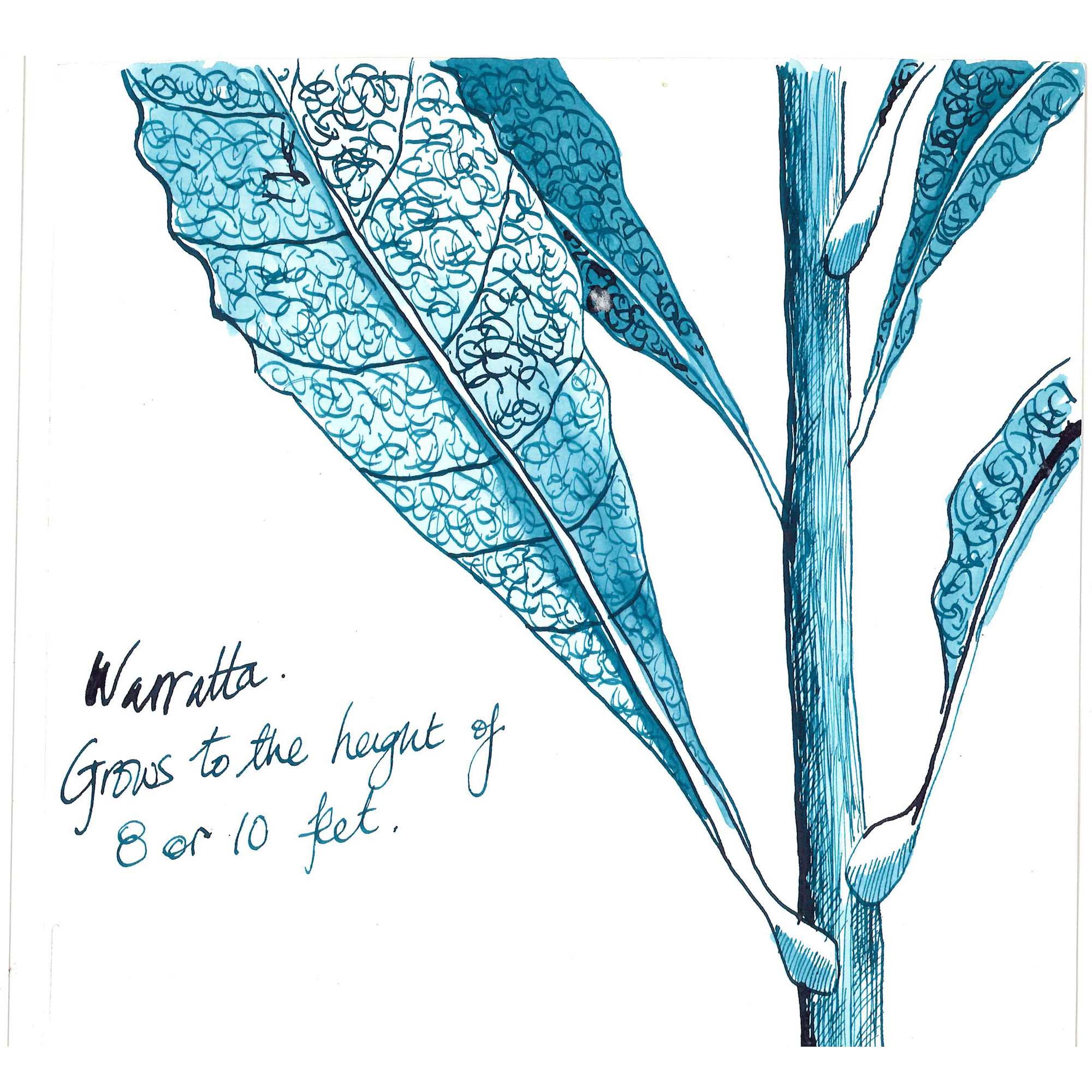a blue ink sketch of a waratah branch