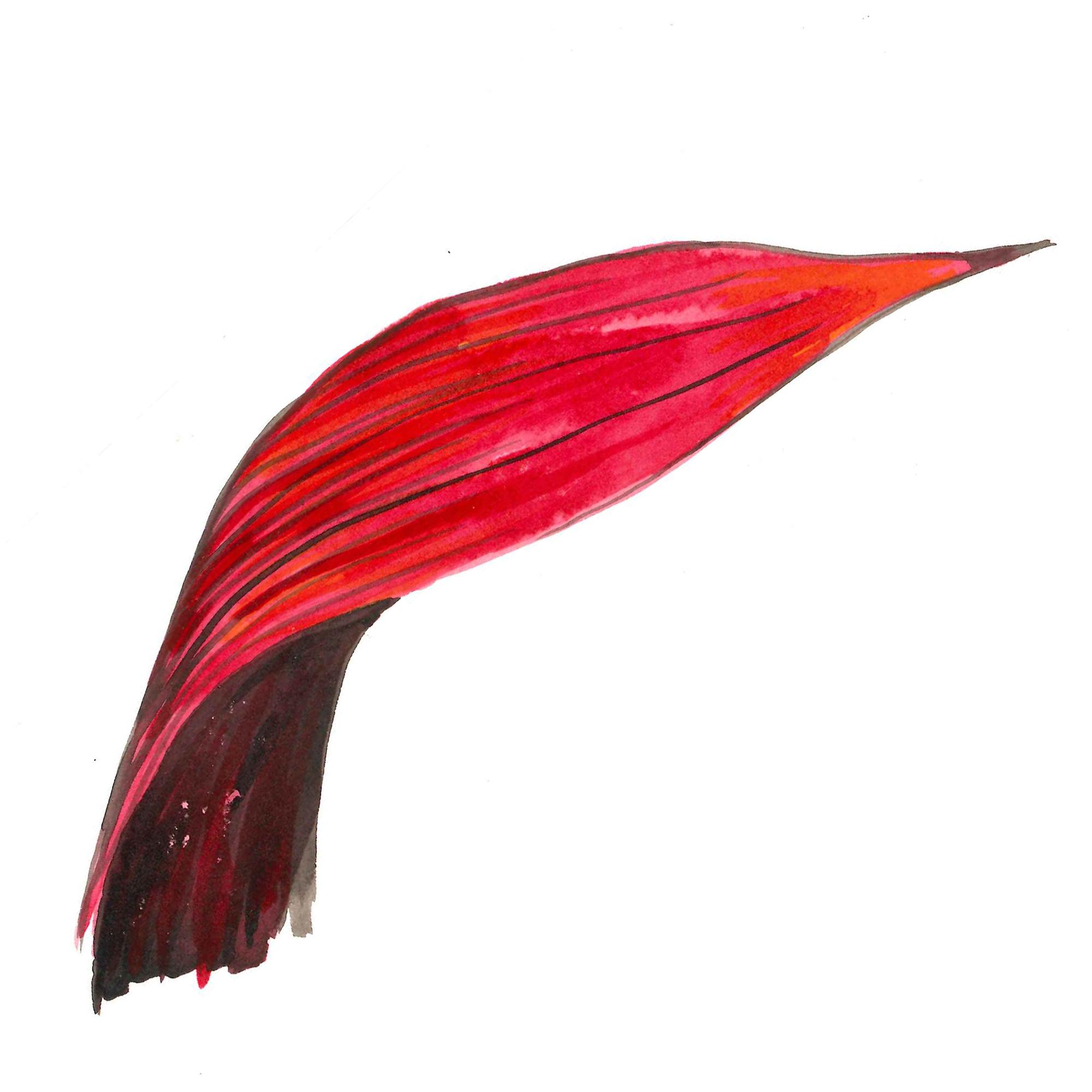 red watercolour detail of waratah petal