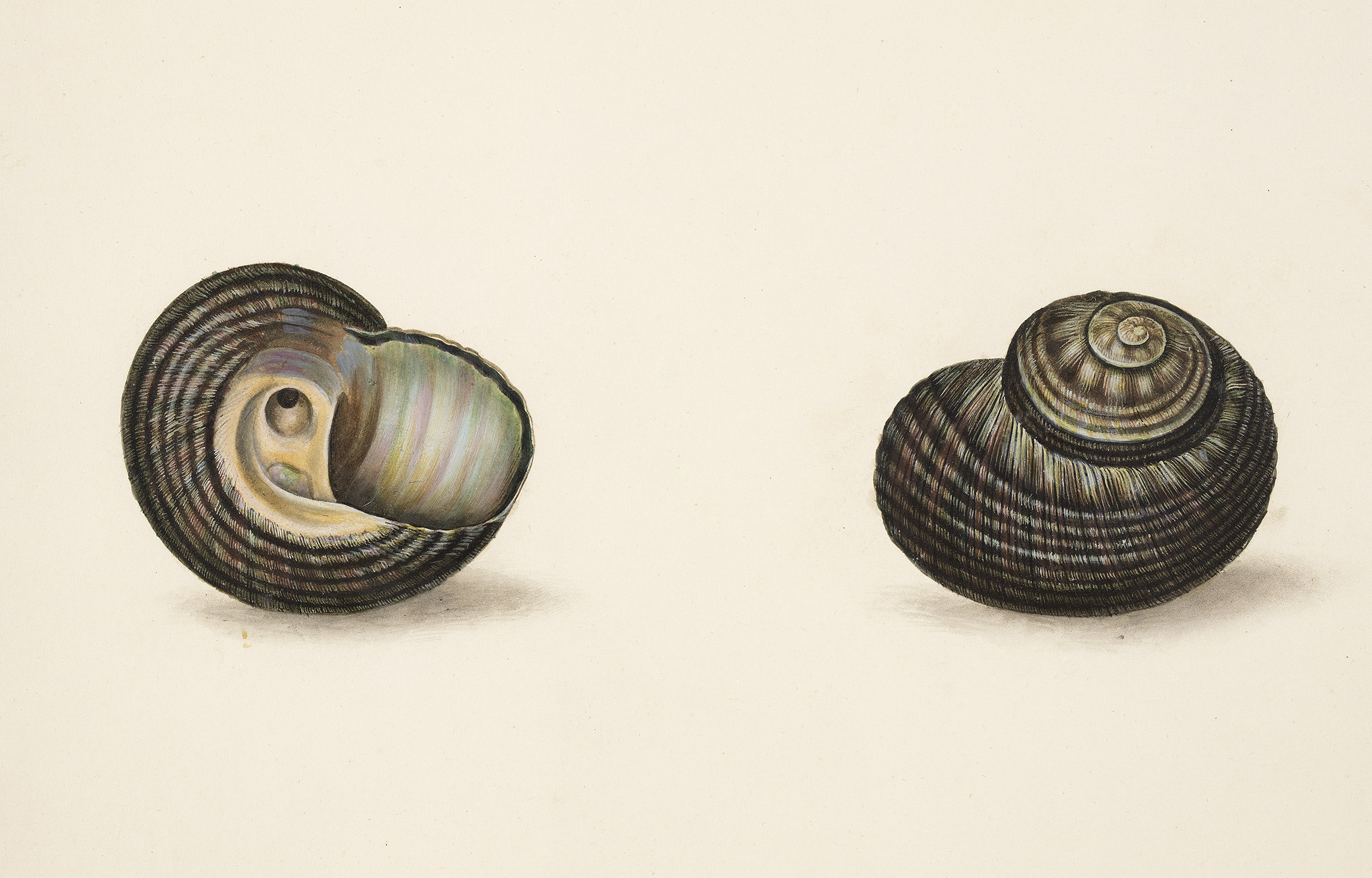 Fimbriatum – Falkland Islands, detail from The Universal Conchologist, 1784, by Thomas Martyn