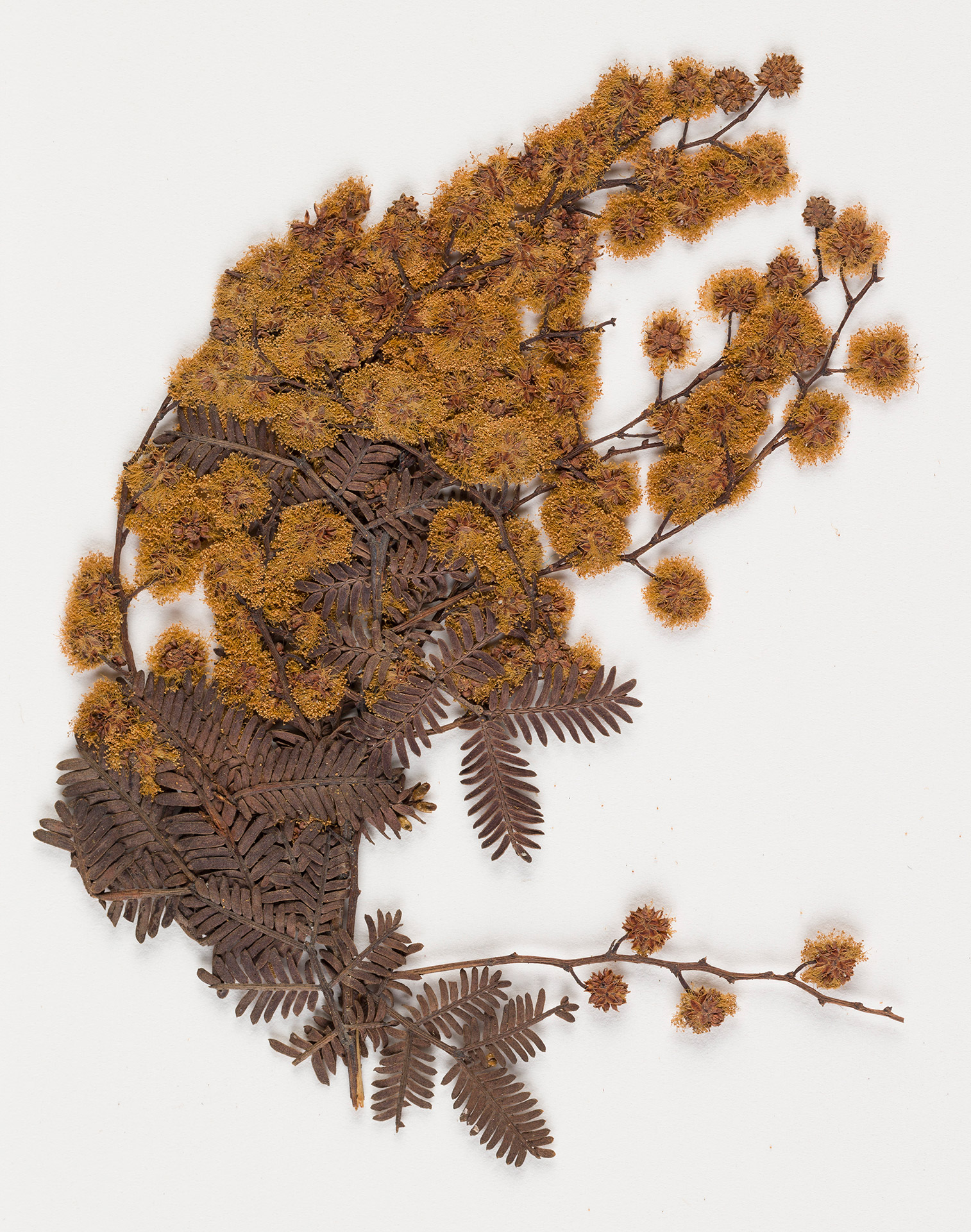 A dried sprig of wattle.