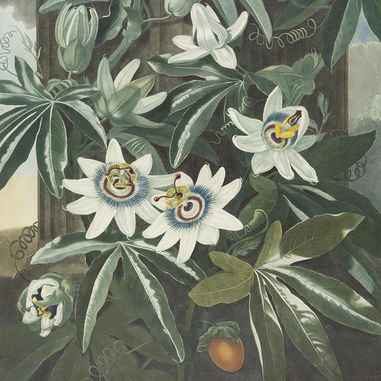 Blue passion flower, 1799, Planting Dreams Exhibition 2016
