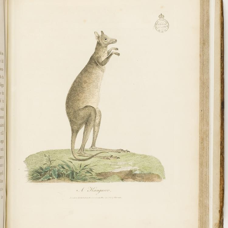Page of a book - coloured illustration of a kangaroo