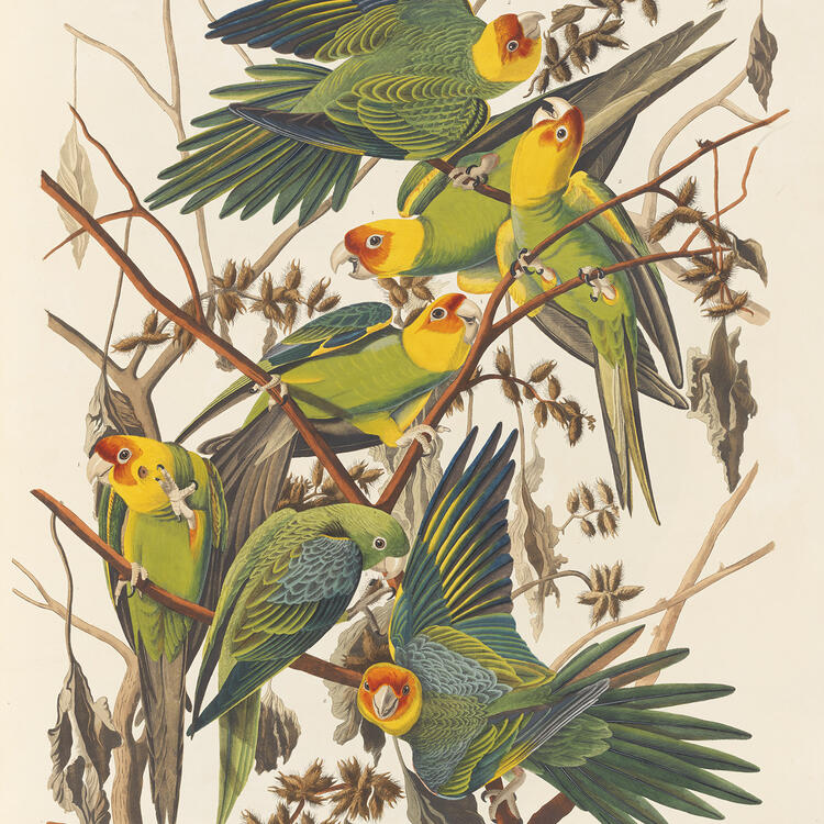 Carolina Parrot, Plate 26, Audubon