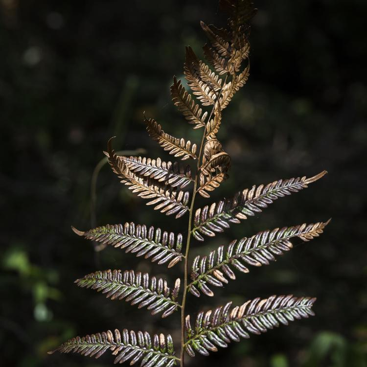 Beautiful detail of bracken fern, Kamay National Park