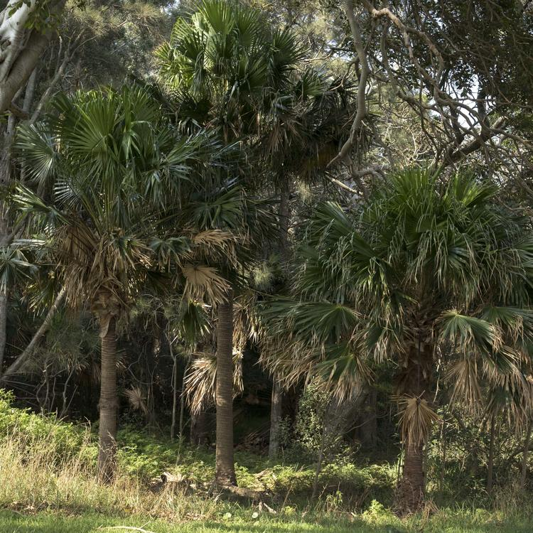 A photograph of cabbage palm trees