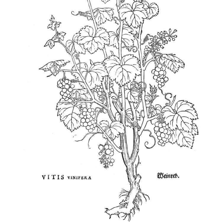 Herbarum Vivae Eicones ad Naturae Imitationem ... [Images of Living Plants in Imitation of Nature ...], 1536, Otto Brunfels (author) From the exhibition Planting Dreams: Shaping Australian Gardens