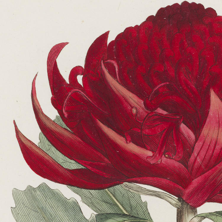 Hand coloured print of the Waratah flower