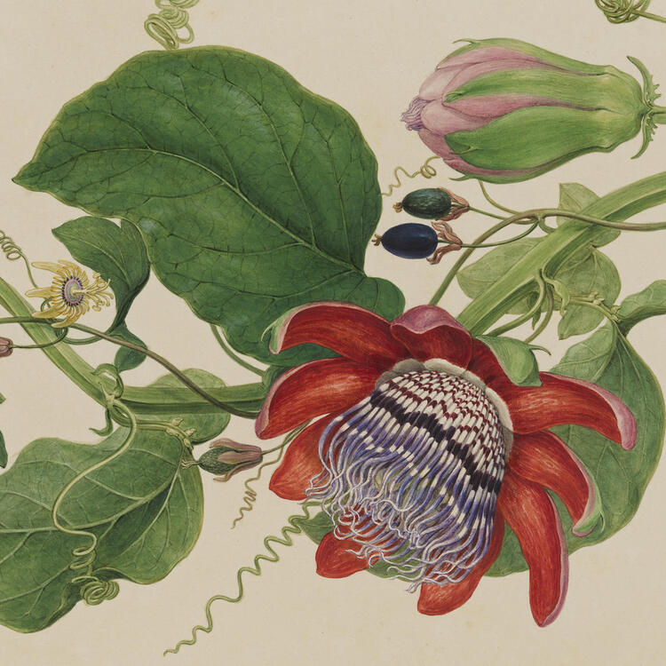 PASSIONFLOWERS (DETAIL), LONDON, C 1794, PRIVATE COLLECTION (SYDNEY)