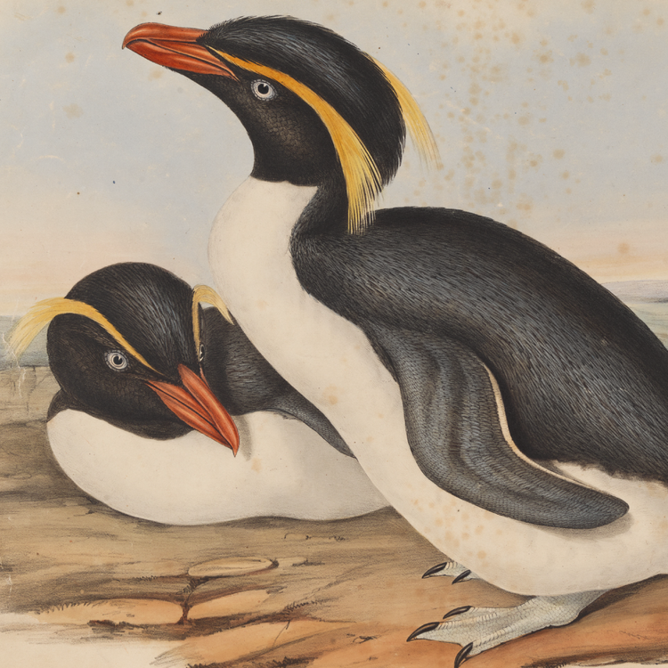 Image of penguins from Birds of Australia