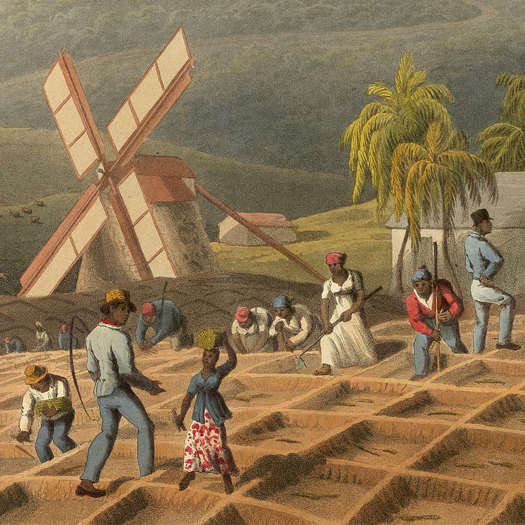 Drawing depicting slaves planting sugar canes.