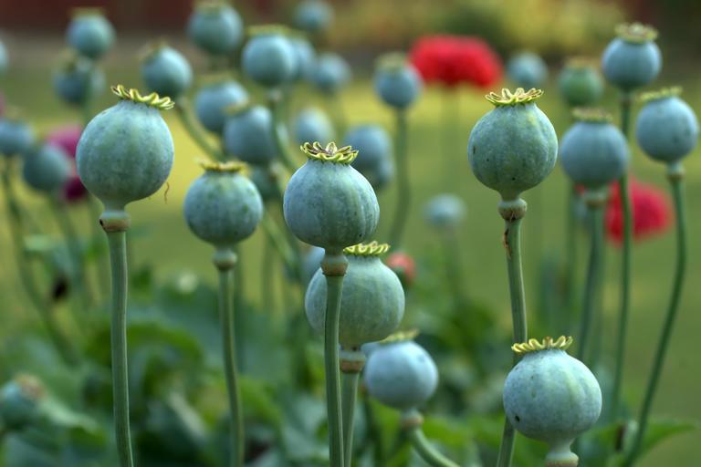 Field of poppy plants