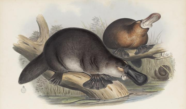 Image of Duck-billed platypus from John Gould, The Mammals of Australia,1855