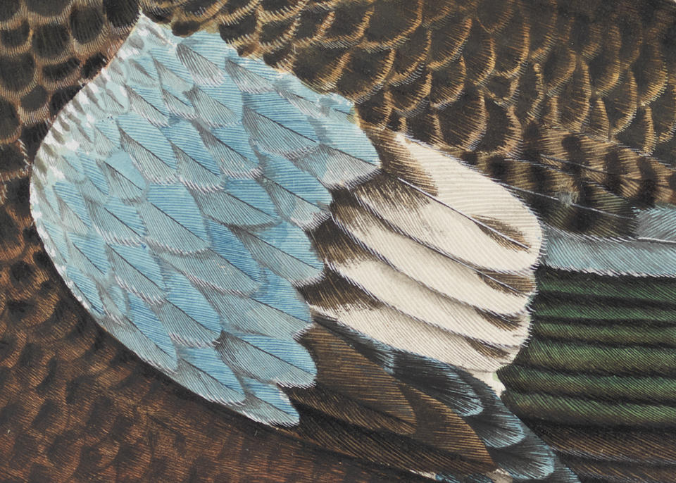 Zoomed in image of drawing of duck feathers