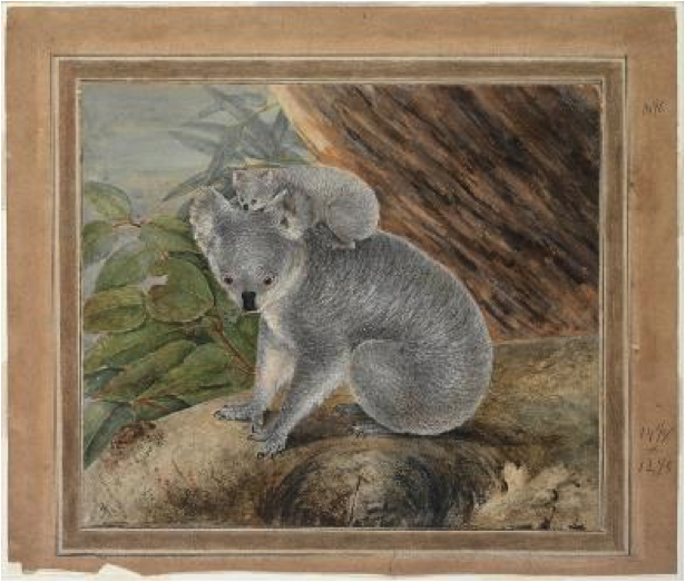drawing of koala