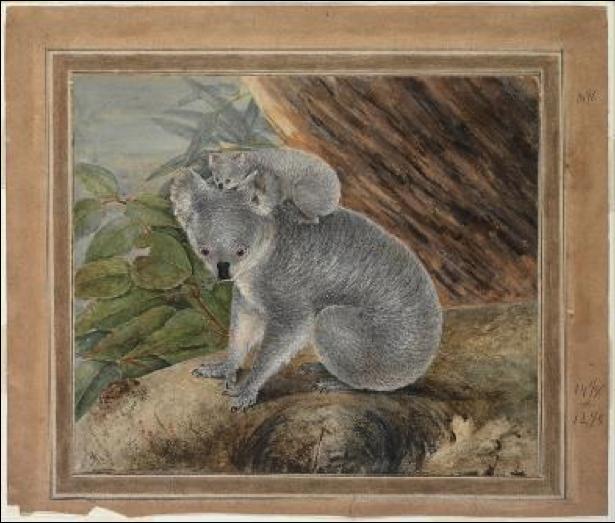 drawing of koala