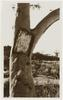 Tree trunk and branches with tree marked with engraving