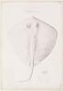 Common stingaree (Urolophus testaceus), pencil drawing by Herman Spöring, 1770