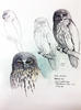 Barking owl Upper Burdekin River by William T. Cooper Call No. NQ 88, State Library of NSW