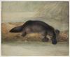Lewin platypus