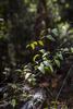 Sarsaparilla leaf grows abundant and wild, Kamay National Park