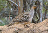 A malleefowl stands on a mound