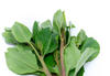 Close up green khat leaves