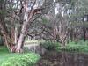 Swamp paperbark trees (Melaleuca quinquenervia), Lachlan Swamp, Centennial Park, Sydney, 2019, photo by Rebecca Hamilton