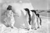'Ice cased Adelie penguins after a blizzard at Cape Denison' our most popular image of Flickr