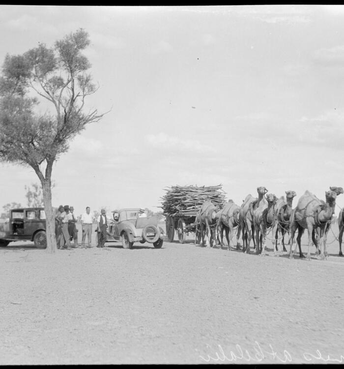 Camels at Belalii,1950.