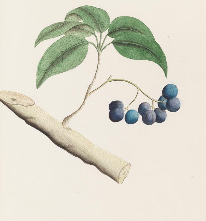 Drawing of berries